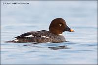 Common Goldeneye hen (2458)