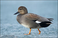 Gadwall drake walking on ice
