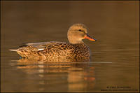 Gadwall hen (female) at rest on pond near sunset