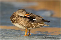 Gadwall hen hissing on ice