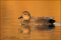 Gadwall (drake) on golden water