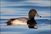 Greater Scaup drake