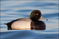 Greater Scaup drake (2389)