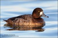 Greater Scaup (Hen) (2393)