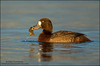 Female Greater Scaup with zebra mussel prey