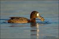 Greater Scaup hen with prey