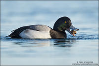 Greater Scaup with zebra mussel