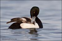 Greater Scaup preening