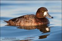 Greater Scaup (Hen) (2386)