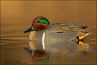 Green-winged Teal at dawn