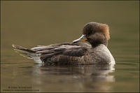Hooded Merganser hen on calm water