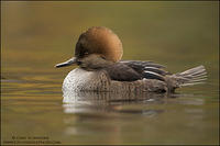 Hooded Merganser hen side profile