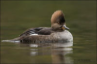 Hooded Merganser Hen looking