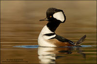 Hooded Merganser (male) displaying