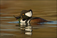 Hooded Merganser drake with fish and weeds