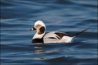 Long-Tailed Duck male
