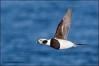 Long-Tailed Duck drake in flight (3268)