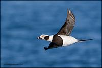 Long-Tailed Duck drake in flight (9373)