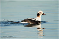 Drake Long-tailed Duck look back