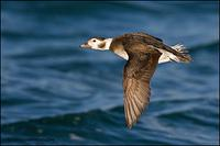 Long-tailed duck hen in flight