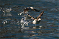 Long-Tailed Duck hens taking off