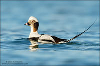 Long-tailed Duck - drake showing tail feathers