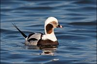 Long-Tailed Duck male (2197)