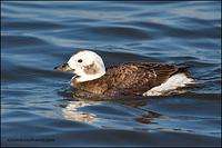 Long-Tailed Duck hen (2149)