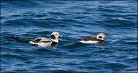 Long-Tailed Duck couple