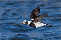 Long-Tailed Duck (drake) in flight