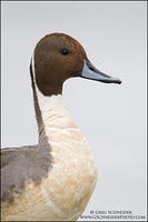 Northern Pintail (drake) - high key portrait