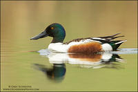 Northern Shoveler drake on calm water