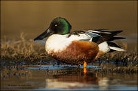 Northern Shoveler drake in the shallows