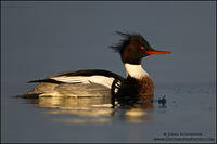 Red-breasted Merganser drake swimming in icy water