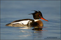 Red-breasted Merganser drake swimming following a dive