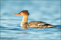 Red-breasted Merganser female on calm water