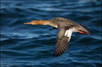 Red-breasted Merganser hen in flight
