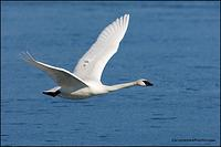 Trumpeter Swan flying over ice