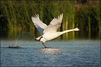 Trumpeter Swan taking off from marsh