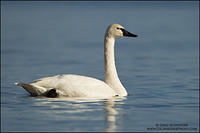 Adult Tundra Swan on Lake Ontario
