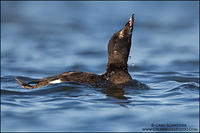 Juvenile White-winged Scoter drinking