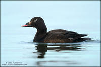 White-Winged Scoter #2