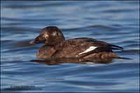 White-Winged Scoter (first winter male)