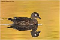 Wood Duck hen swimming past