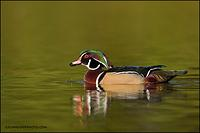 Wood duck drake drinking