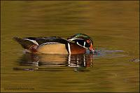 Wood duck drake feeding (588)