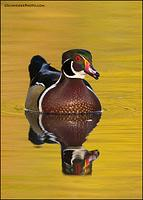 Wood Duck drake headon