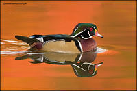 Wood Duck drake at sunset