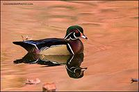 Wood duck drake and fallen leaves
