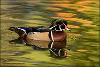 Wood Duck drake on colourful water (768)